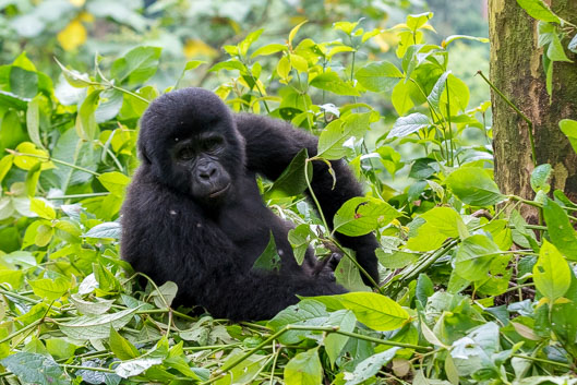 Mountain gorilla tracking in Bwindi