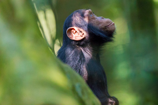 Chimpanzee tracking in Kibale