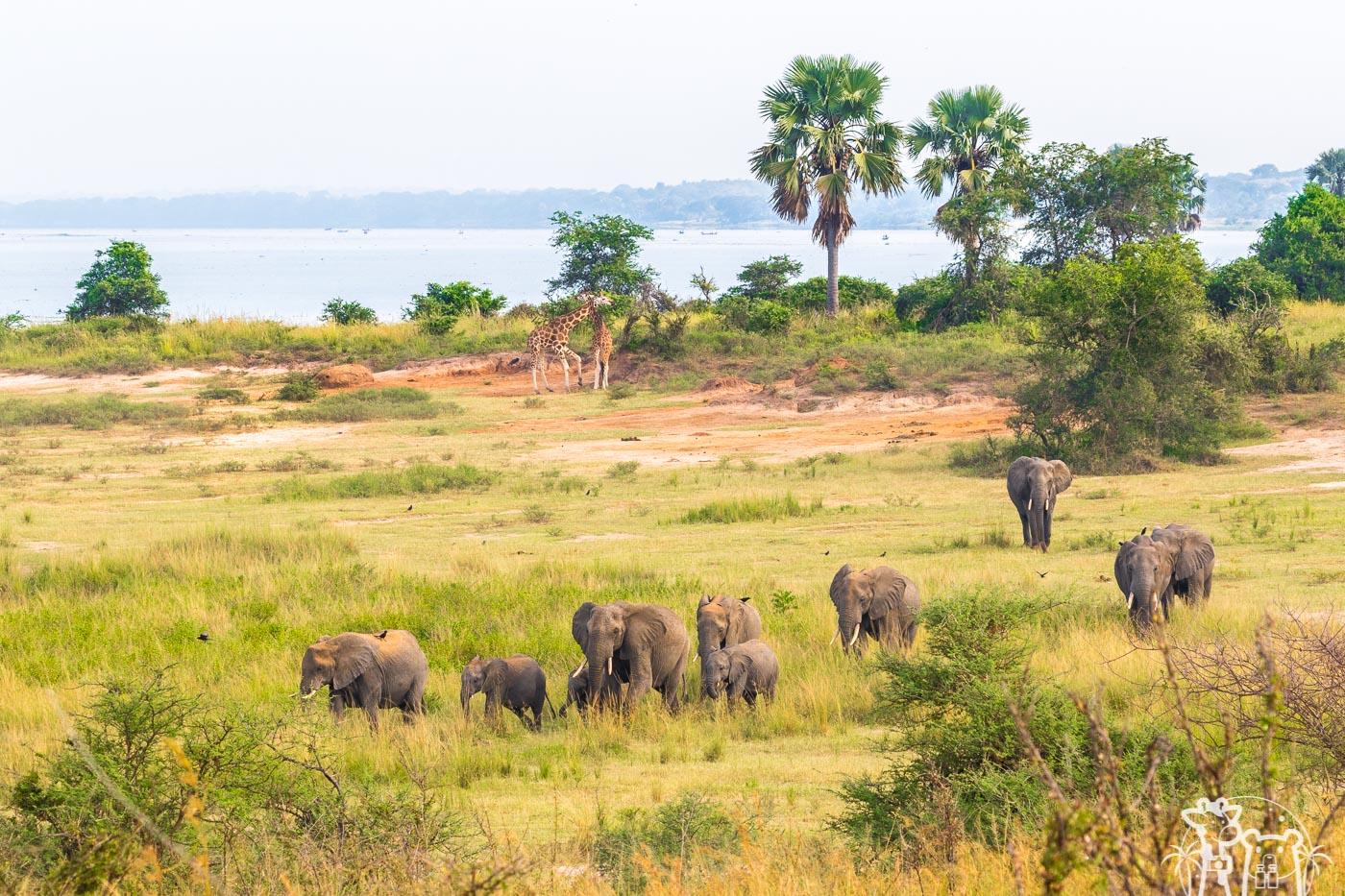 galerie-elephants-girafes-ouganda