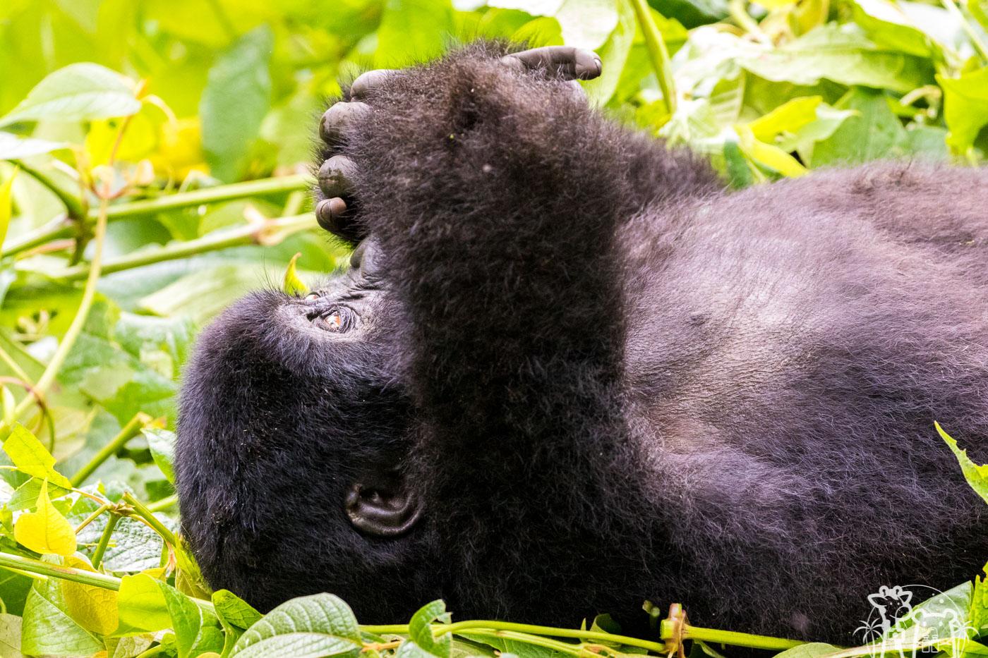 galerie-ouganda-gorille-de-montagne